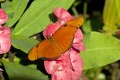 julia-butterfly-picture;julia-butterfly;longwing-butterfly;dryas-iulia;heliconian-butterfly;florida-