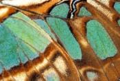 malachite-butterfly-picture;malachite-butterfly;malachite-butterfly-wing;siproeta-stelenes;butterfly