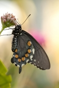 pipevine-swallowtail-butterfly-picture;pipevine-swallowtail-butterfly;pipevine-swallowtail;swallowta