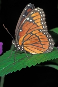 viceroy-butterfly-picture;viceroy-butterfly;butterfly;florida-butterflies;florida-butterfly