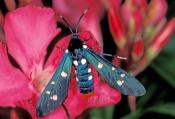 polka-dot-wasp-moth-picture;polka-dot-wasp-moth;polka-dot-wasp-moth;polka-dot-moth;oleander-moth;syn