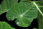 water-beads-on-leaf;water-beads;water-s;leaves-with-s-of-water;large-leaves;tropical-leaves;cairns-b