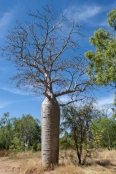 bottle-tree;baobab