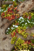 Cluster Fig Trees