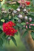 gum-tree;gumtree;flowering-gum-tree