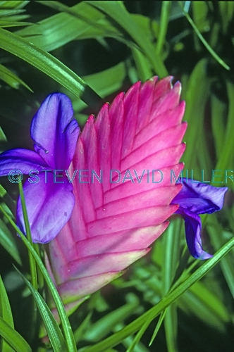 pink quill bromeliad picture;blue fire bromeliad picture;pink quill;blue fire;tillandsia cyanea;bromeliad of eduador;south american bromeliad;cultivated bromeliad;pink bromeliad;steven david miller