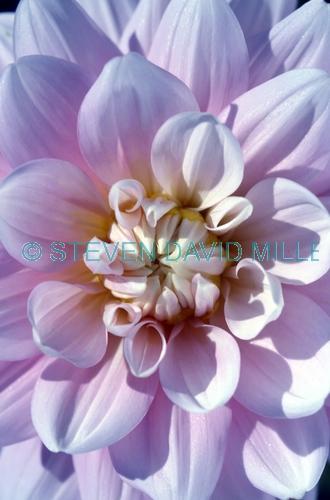 dahlia picture;dahlia;pink dahlia;cultivated dahlia;dahlia hybrid;mexican flower;central american flower;columbia flower;flower of columbia;steven david miller