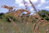 sea-oat-picture;sea-oat;sea-oats;dune-stabilizer-plant;foreshore-stabilizer-plant;delnor-wiggins-sta