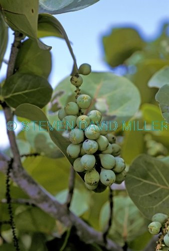 sea grape picture;sea grape;sea grapes;sea grape shrub;Coccoloba uvifera;delnor wiggins state park;foreshore plant;stabilizer plant;dune stabilizer plant
