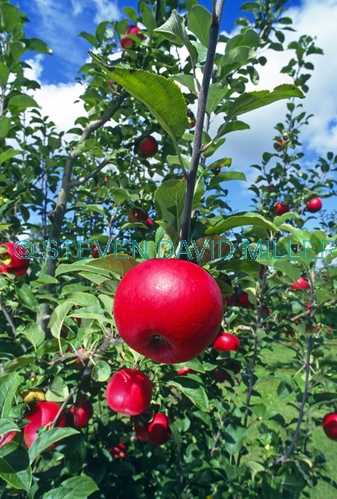 apple picture;apple;red apple;apple tree;red apple tree;malus genus;pomaceous fruit;pomaceous;petty's orchard;petty's antique apple festival;apple festival;apples on a tree;the heritage fruit society;apple varieties;steven david miller
