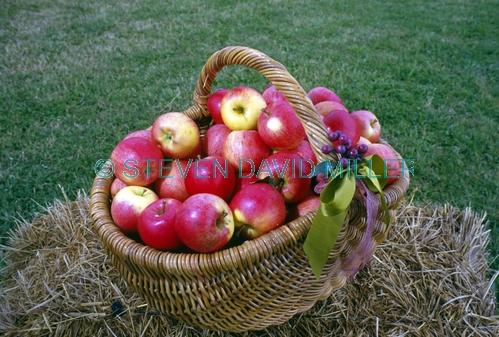 basket of apples picture;basket of apples;apples;red apples;malus genus;pomaceous fruit;pomaceous;petty's orchard;petty's antique apple festival;apple festival;apples in a basket;the heritage fruit society;apple varieties;steven david miller