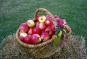basket-of-apples-picture;basket-of-apples;apples;red-apples;malus-genus;pomaceous-fruit;pomaceous;pe