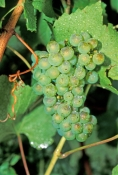 grapes-picture;grapes;chardonnay-grapes;grape-vine;grapes-on-vine;cluster-of-grapes;green-grapes;vit