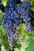 grapes-picture;grapes;purple-grapes;grape-vine;grapes-on-vine;cluster-of-grapes;vitis-vinifera;grape