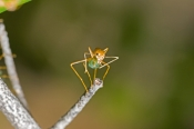 green-tree-ant-picture;green-tree-ant;weaver-ant;green-ant;ant;tree-ant-nest;australian-ant;oecophyl