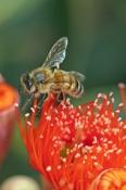 bee-picture;short-tongued-bee;short-tongued-bee;bee;bee-on-flowering-eucalyptus;flowering-gum-tree;r