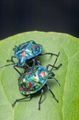 shiny-bug;metalic-bug;colorful-bug;colourful-bug