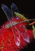 dragonfly-picture;dragonfly;dragonfly-wings;dragonfly-on-flower;anisoptera;dragonfly-on-red-flower;d