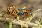 leichhardts-grasshopper-picture;leichhardts-grasshopper;leichhardts-grasshopper;leichhardt-grasshopp