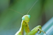 praying-mantis-picture;garden-praying-mantis-picture;praying-mantis;garden-praying-mantis;mantidae;p