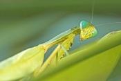 praying-mantis-picture;garden-praying-mantis-picture;praying-mantis;garden-praying-mantis;mantidae;p