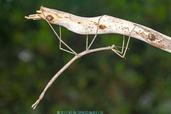 australian stick insect;brown stick insect