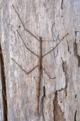australian-stick-insect;brown-stick-insect