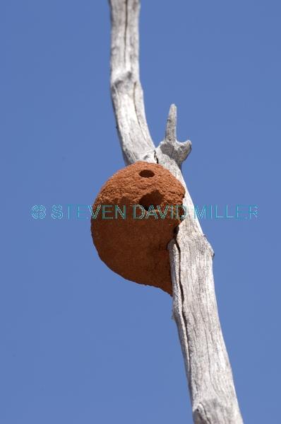 tree termite mound;arboreal termite mound