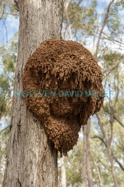 arboreal termite nest;termite nest in tree;termite mound in tree