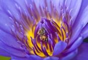 honey-bee-picture;honey-bee;honey-bee-on-flower;honey-bee-on-lotus-lily;apis-mellifera;honey-bee-gat