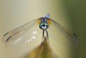 Eastern Blue Darner Dragonfly