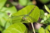 green-clearwing-dragonfly;clearwing-dragonfly;dragonfly;green-dragonfrly;dragonfly-on-leaf;long-key-