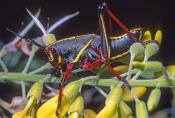 lubber-grasshopper-picture;lubber-grasshopper;southern-lubber-grasshopper;eastern-lubber-grasshopper