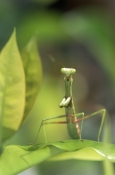 ARTHROPODS;BEHAVIOUR;INSECTS;INVERTEBRATES;MANTIDS;Mantodea;PORTRAITS;USA;VERTICAL;european-praying-