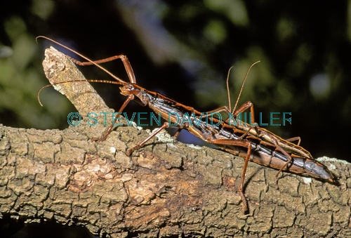 giant stick insect;stick insect;sticks insects mating;insects mating;megaphasma dentricus;florida stick insect