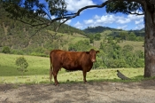 rural-gloucester;rural-new-england;rural-new-south-wales;cow-in-field;new-south-wales-grazing-area;g