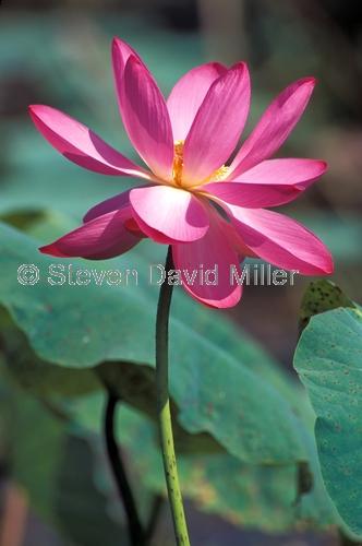 fogg dam;fogg dam conservation reserve;northern territory wetland;arnhem hwy;water lily;lotus flower;lotus lily;nymphaea;steven david miller;natural wanders