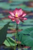fogg-dam;fogg-dam-conservation-reserve;northern-territory-wetland;arnhem-hwy;water-lily;lotus-flower