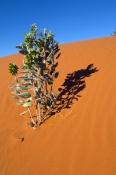 simpson-desert;central-australia;northern-territory;desert;australian-desert;paper-daisy;outback;red