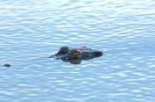 estuarine-crocodile;cooper-creek;wetland;arnhem-land;mount-borradaile;northern-territory-wetland;nor