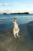 casuarina-bay;cape-hillsborough-national-park;wallaby-on-the-beach;wallaby-at-cape-hillsborough-nati