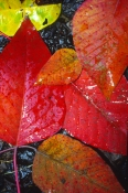 picture-of-bleeding-heart-tree-leaves;bleeding-heart-tree-leaves;bleeding-heart-tree-leaf;red-leaf;r