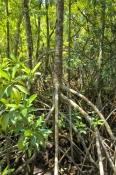 red-mangrove-tree;spider-mangrove-tree;mangrove-tree-roots;mangrove-forest;cape-tribulation;daintree