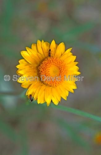 golden everlasting;straw flower;bracteantha bracteata;helichrysum bracteatum;family asteraceae;carnarvon national park;carnarvon gorge;australian national park