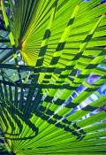 palm-frond-picture;palm-frond;palm-leaf;palm-tree;carnarvon-creek;carnarvon-national-park;carnarvon-