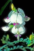 smooth-darling-pea;white-smooth-darling-pea;swainsona-galegifolia;family-fabaceae;carnarvon-national