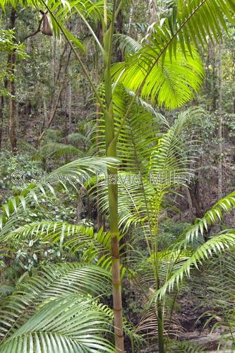 picabeen palm;bangalow palm;archontophoenix cunninghamiana;rainforest palm;fraser island rainforest;fraser island national park;great sandy national park;queensland national park;australian national park;sand island;family arecaceae