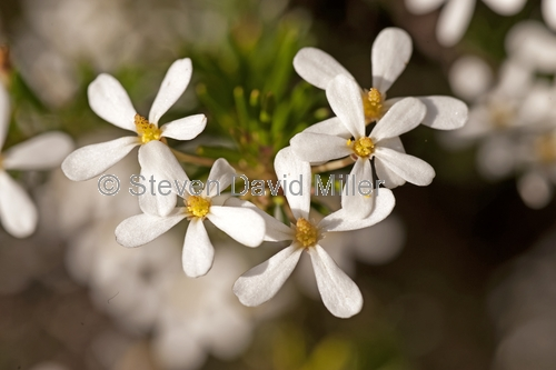 wedding bush;ricinocarpos pinifolius;fraser island;sand island;fraser island national park;great sandy national park;queensland national park;australian national park;family euphorbiaceae