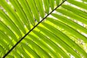 picabeen-palm;bangalow-palm;archontophoenix-cunninghamiana;rainforest-palm;fraser-island-rainforest;