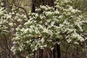 wedding-bush;ricinocarpos-pinifolius;fraser-island;sand-island;fraser-island-national-park;great-san
